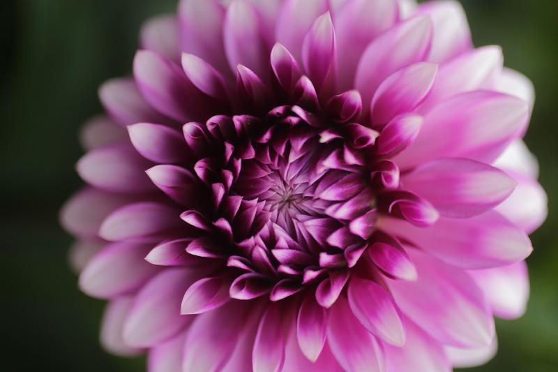 dahlia_purple_close_800
