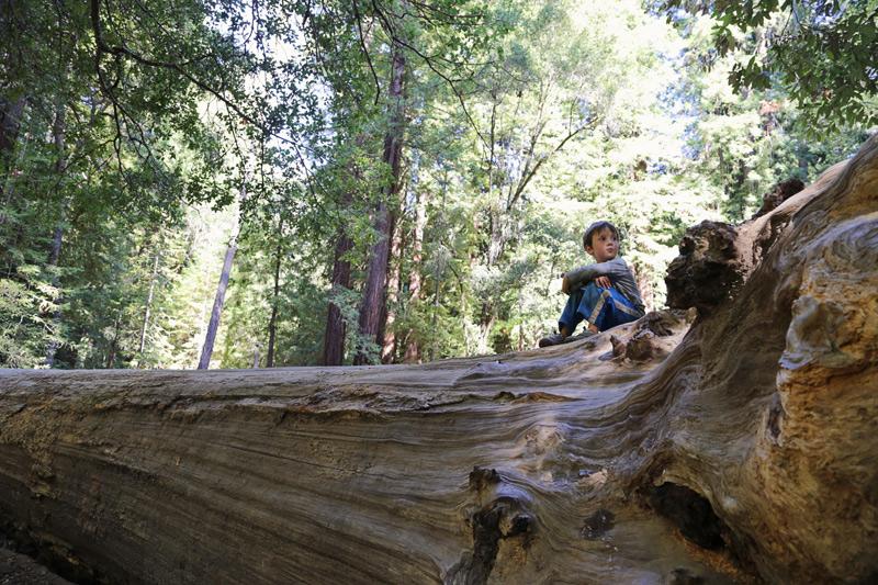 ben_tree_big_basin_800